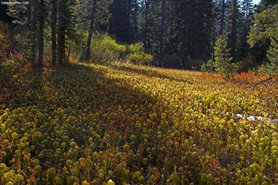 Aqui un espectacular bosque de Darlingtonias Californicas